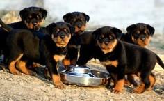 Rottie pups