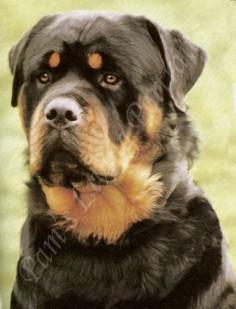 Rottweiler Puppy Photo | Rottweiler Dog Images | GERMAN ROTTWEILER ...