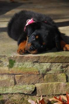 #Rottweiler sweet baby