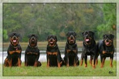 ♥ #Rottweilers
