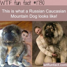 Russian Caucasian Mountain Dog pics- WTF fun facts- ITS SO FLUFFY!!!!