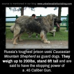 Russia's toughest prison uses Caucasian Mountain Shepherd as guard dogs. They weigh up to 200lbs, stand 6ft tall and are said to have the stopping power of a .45 Caliber Gun.