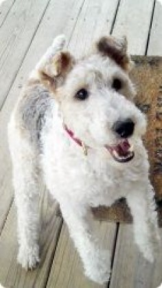 SADIE is an adoptable Wire Fox Terrier Dog in Mokena, IL. Wire Fox Terrier Rescue is a 501(c)3 non-profit organization dedicated to the Rescue, Rehabilitation and Rehoming of Wire Fox Terriers in the ...