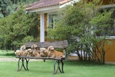 Salatino's Dachshunds    #dog #salatino #clubesalatino #canil #perro #dogs #cute #love #nature #animales #cute #filhote #dachshund #teckel #golden #dachshundlonghair #dach #teckelpelolongo #filhote