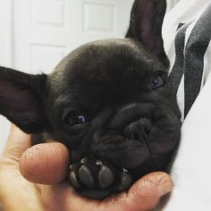 Say hi to Matisse (Matty for short). Isn't he cute?? 😍 Co owned and co bred with @rhicharddevrieze #frenchbulldog #puppy #love