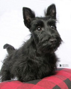 Scottie puppy