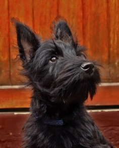 Scottish Terrier dog. Photograph Proud Scott by Mari du Preez on 500px