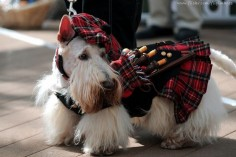 Scottish Terrier in tartan with bagpipes