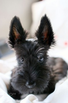 #ScottishTerrier #puppy at 3 months  adorable!
