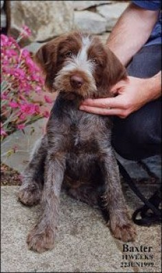 Scruffy Dogs: Baxter