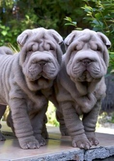 Shar-Pei puppies