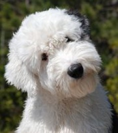 sheepadoodle | Sheepadoodle is gentle with children and always calm