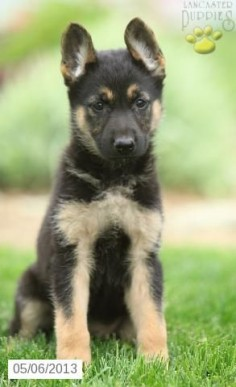 Shelley - German Shepherd Puppy for Sale in Christiana, PA - German Shepherd - Puppy for Sale