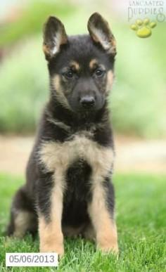 Shelley - German Shepherd Puppy for Sale in Christiana, PA - German Shepherd - Puppy for Sale