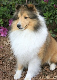 Shelties-I have to have  Latest obsession after meeting the sweetest old lady sheltie the other day!