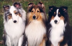 Shelties!
