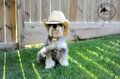 Sheriff Remington by Fix Your Images Photography #Miniature #Schnauzer
