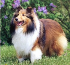 Shetland Sheepdog or sheltie, also called the little lassie and the miniature collie. I want a dog like this so bad