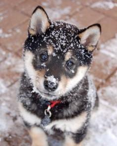 shiba inu black puppy
