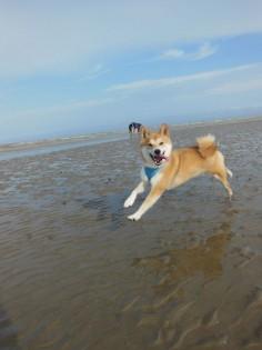shibashibashibashibashiba: Ando beach day He is having a wonderful time jumping in the rocky ocean waters. What a beautiful animal. !