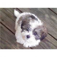 Shih Poo I want one!!!!