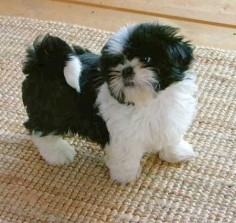 Shih Tzu, black &  thing ever! just like my sassy when she was but a puppy.