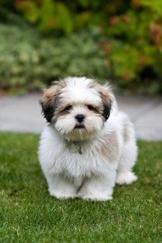 Shih Tzu on the grass