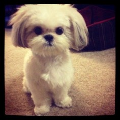 shih-tzu puppy, omg so adorable.  How can you not fall in love with that face??