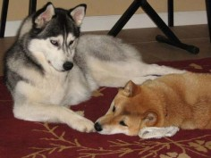 siberian husky and shiba inu - Google Search