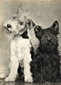SIDE KICKS! : Adorable Wire Haired Fox Terrier  with a Smiling Scottish Terrier.  Photographed by Camilla Koffler (known as Ylla), 1945