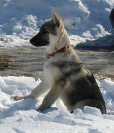 silver sable german shepherd puppies
