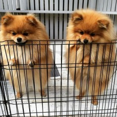 Simba : Looks like we're going to be locked up forever! Winnie : Not if I eat my way out! #Winnie #Simba #winniehasaplan #whenindoubteatyourwayout #twins #auckland #nz #newzealand by poppy_simba_winnie_phoebe #mypomeranianfriends @mypomeranianfriends