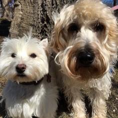 Sister act. #dog #dogs #katanddog #whwt #scwt #westie #wheaten #westhighlandwhiteterrier #wheatenterrier #terrier #terriers