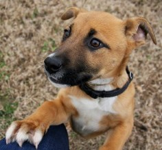 Sky (90765)Sky is a 3 month old (Jan, 2014) Black Mouth Cur/ Lab mix in need of a fresh start at life. She is you typical happy go lucky puppy. She is great with other dogs (both older, larger, and same age). She would love to meet you soon!This