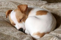 Sleeping jack russell puppy ....how to take care of your of your puppy