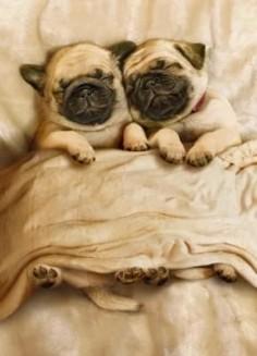 sleepy pugs ♥