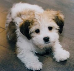 small dog mixed breeds that don't shed