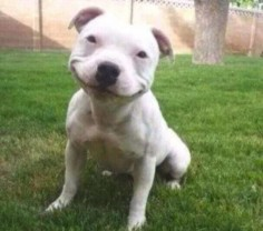 Smiling Pitbull Puppy is Smiling