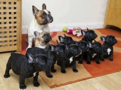 So many Frenchies!!