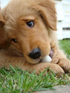 So Precious ♥♥♥ puppy, pupp, pet, dog, grass, begging eyes, adorable, cute, nuttet, furry, photo