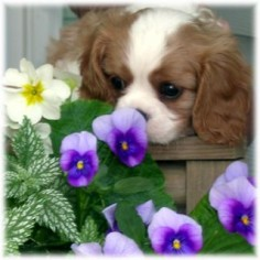 So pretty!!! Cavalier King Charles Spaniel