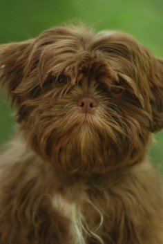 Solid Liver Shih Tzu identical to my  an imperial