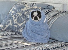 Sooooo , Boston Terriers love warm towels