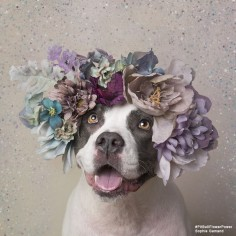 "Sophie Gamand, the amazing French photographer whose images of dogs are probably already beautifying your Instagram, has a new series that's sure to make your heart swell. The series, called ""Pit Bull Flower Power,"" is working to help rescue pit bulls get adopted by showing them in a different, more positive light. Between 800,000 and 1 million pit bull-type dogs are euthanized in the  each year; if that number doesn't shock you, it should! That's almost 2,800 dogs killed every day,"