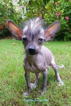 SPLINTER!  Chinese Crested.