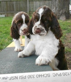 Springer Spaniel puppies ❤️