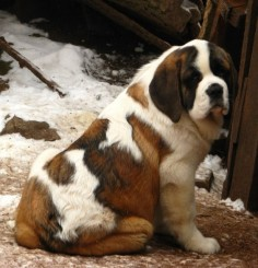 St Bernard. How cute is he!
