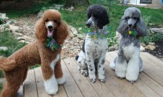 Standard Parti poodles