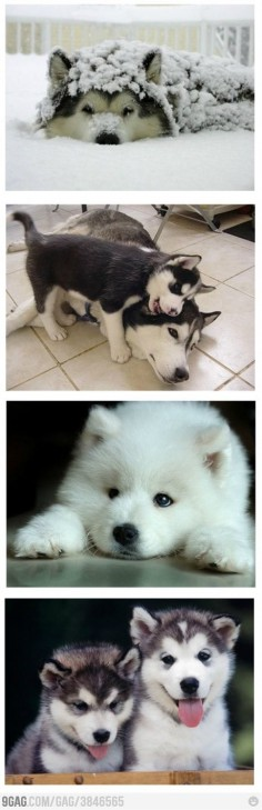 Such cute huskies!!!!!!!