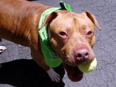SUPER URGENT Manhattan Center My name is VINNY. My Animal ID # is  RESCUE  am a male red and white am pit bull ter and american staff mix. The shelter thinks I am about 3 YEARS old. I came in the shelter as a SEIZED on 05/21/2016 from NY 10472, owner surrender reason stated was BITEPEOPLE. **DOH HOLD 05/21/16**